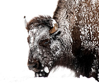 Yellowstone Wildlife in Winter